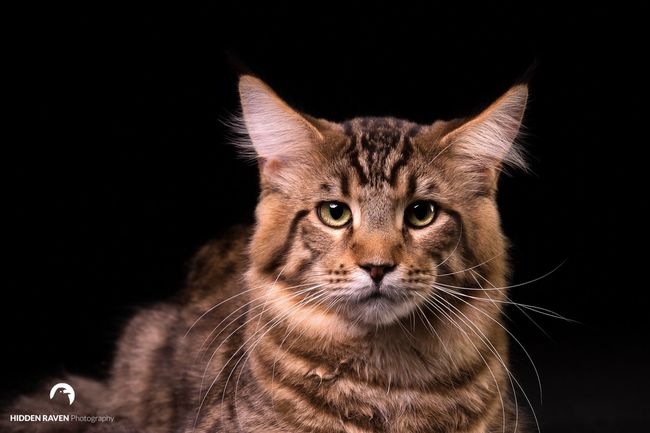 Jaguar Cat Coons Brussels Catshooting Studio Shot