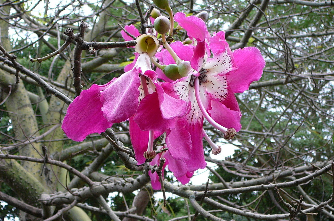 Fuchsia Delight Beauty In Nature Branch Branch Of A Tree Close-up Cluster Of Flowers Day Flower Flower Head Fragile Beauty Fragility Freshness Fuschia FuschiaPinkFlowers Growth Natal Nature No People Orchidea Outdoors Passion Flower Petal Pink Color South Africa Springtime Tree