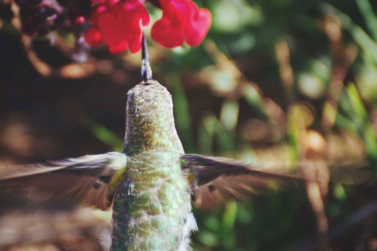 Beautiful stock photos of hummingbird, Animal Themes, Animals In The Wild, Beauty In Nature, Bird