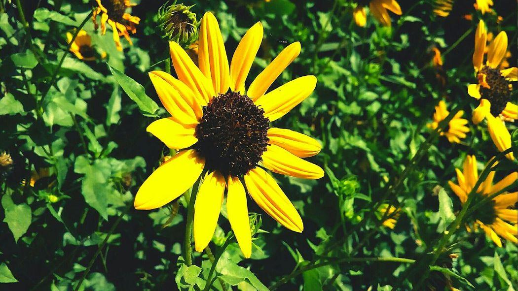 Nature Leaves 🍁 Trees Sunflower Sunflowers Sunflowers🌻 Sun Flower The Great Outdoors - 2017 EyeEm Awards The Great Outdoors - 2017 EyeEm Awards