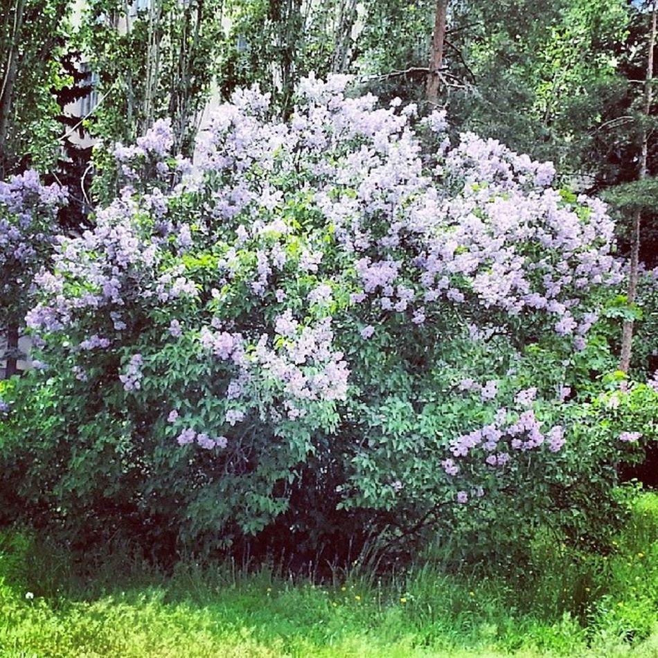 Цветущая сирень на территории ГОРХОЗа. Природа весна сирень красиво ВИСТЕХ волжский Volzhskiy Violence Beautiful Plants Flowers Spring Nature