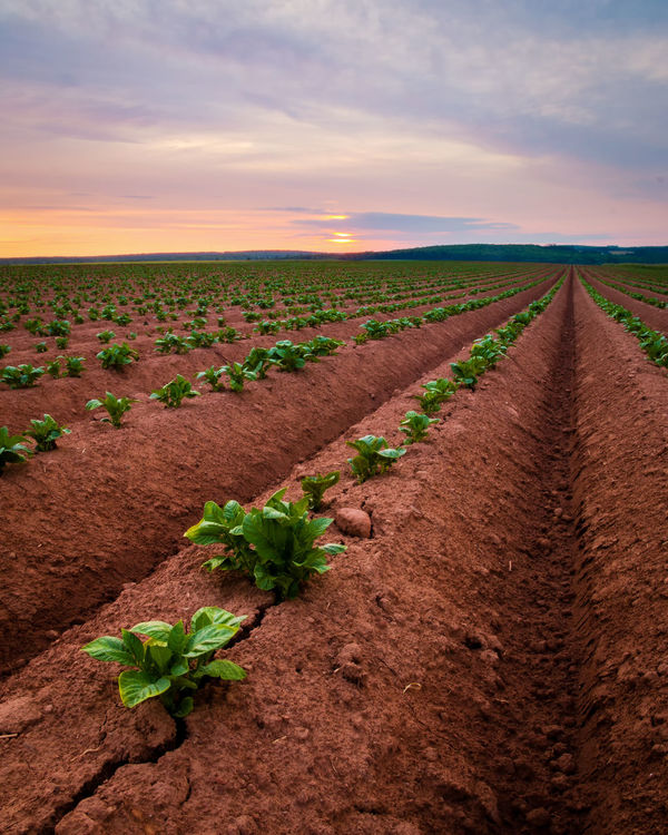 Sunrise over the rolling potato fields of Prince Edward Island. They really do go on forever. Canada150 Farmland Agriculture Beauty In Nature Canada Cloud - Sky Farm Field Growth Landscape Nature Plough Plowed Field Potatoes Prince Edward Island Red Soil Rural Scene Sky Sunrise Tranquility