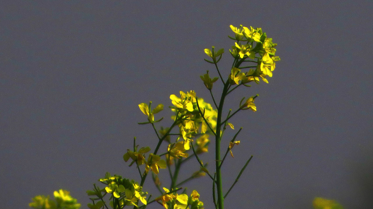 flower, growth, nature, yellow, plant, fragility, spring, freshness, beauty in nature, no people, clear sky, outdoors, close-up, day