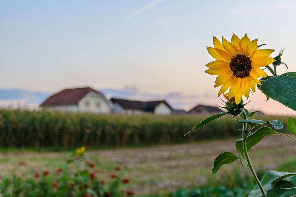 Sentjernej Sunflower Depth Of Field Field Landscape Rural Scene Selective Focus Sentjenej Slovenia Slovenia Scapes Sunflower Tranquility
