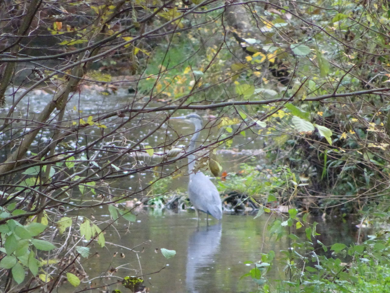 Animal Themes Animal Wildlife Animals In The Wild Bird Day Grey Bird Heron Heron Standing Large Bird Nature No People One Animal Outdoors Reflection Tree Water