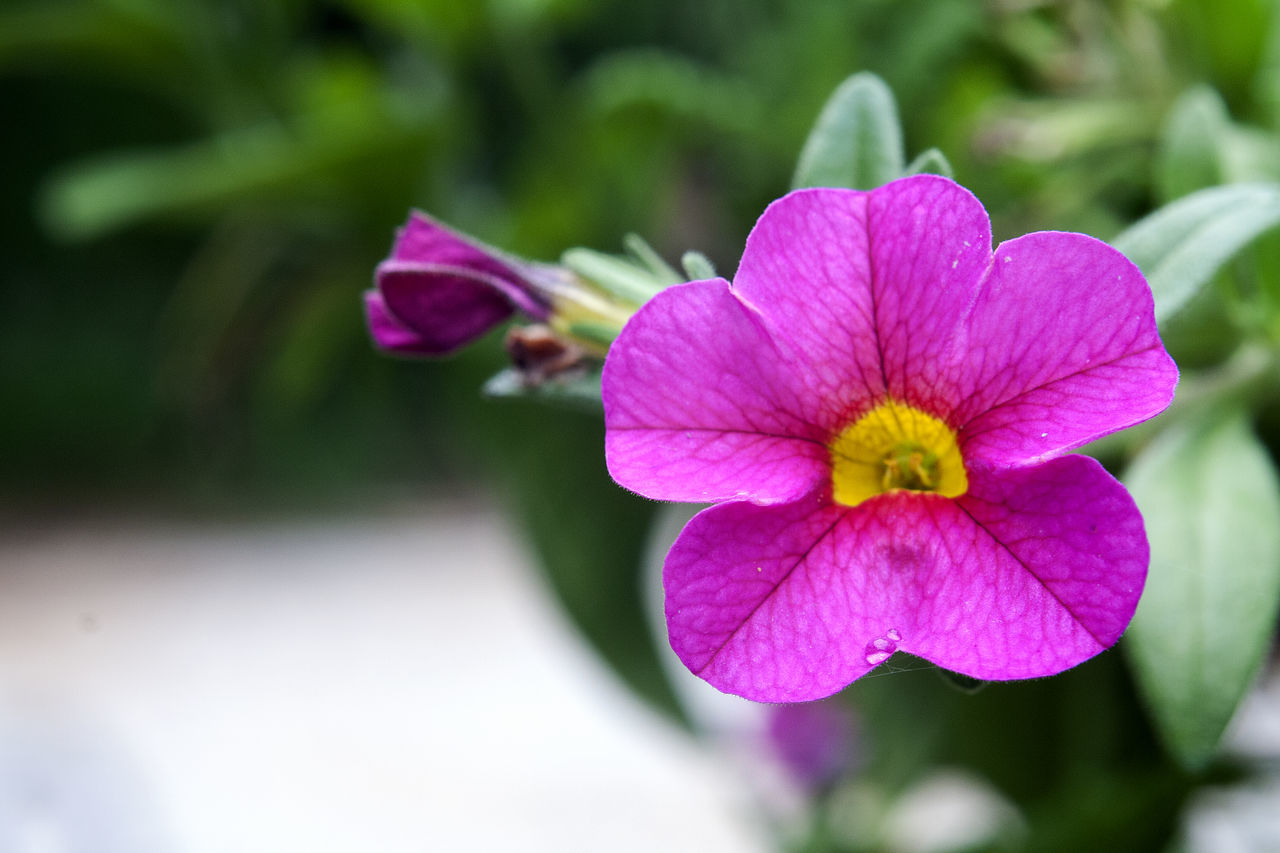Beauty In Nature Blooming Close-up Day Flower Flower Head Focus On Foreground Fragility Freshness Growth Nature No People Outdoors Periwinkle Petal Petunia Pink Color Plant