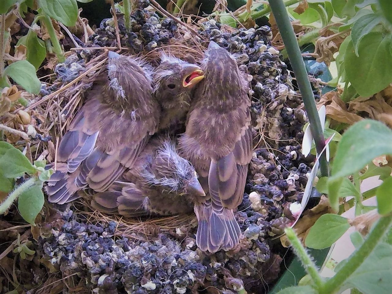 House Finches in Nest #4 Animal Themes Beauty In Nature Beginnings Bird Bird Nest Close-up Nature Outdoors Togetherness Young Bird