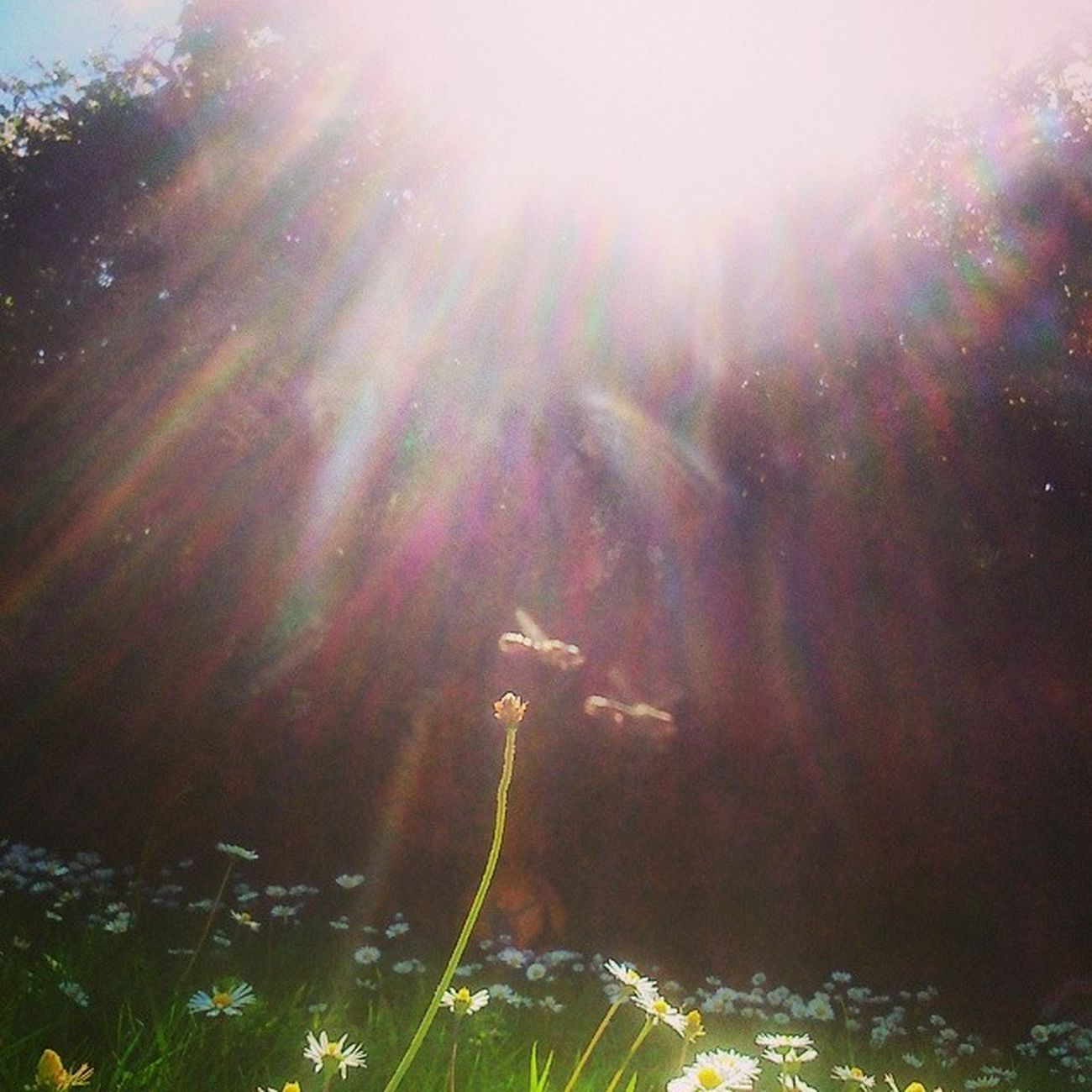 Who needs a getaway when this is in the back garden? Summer Irishsummer Sun Daisys bees