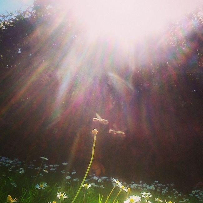 Who needs a getaway when this is in the back garden? Summer Irishsummer Sun Daisys bees