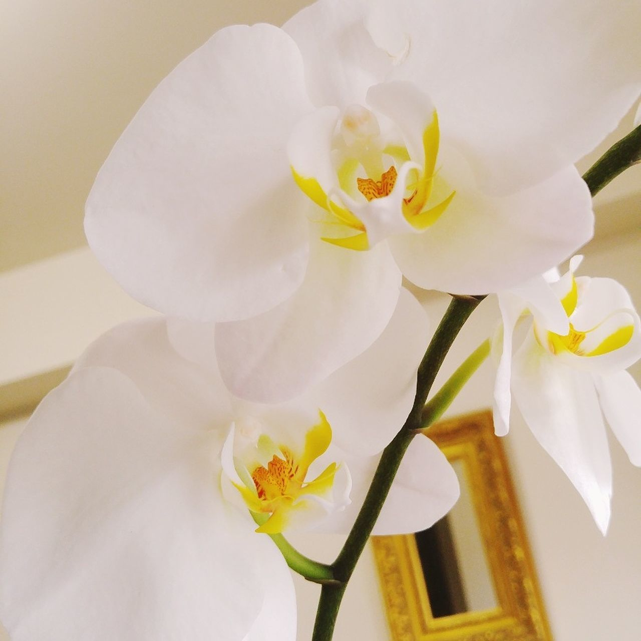 Flower Flower Head Petal Fragility Blossom Freshness Springtime Close-up Orchid Beauty In Nature Softness Nature Stamen Yellow Plant Growth No People Day Indoors  Bouquet Orchid Blossoms White Orchid