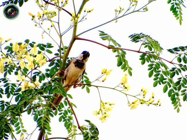 Sparrow Sparrow Bird Sparrow On A Branch Bird Photography Nature Photography Showcase April Hello World Check This Out Taking Photos EyeEm Best Shots EyeEm Masterclass EyeEm Gallery Colors India ASIA Flowers