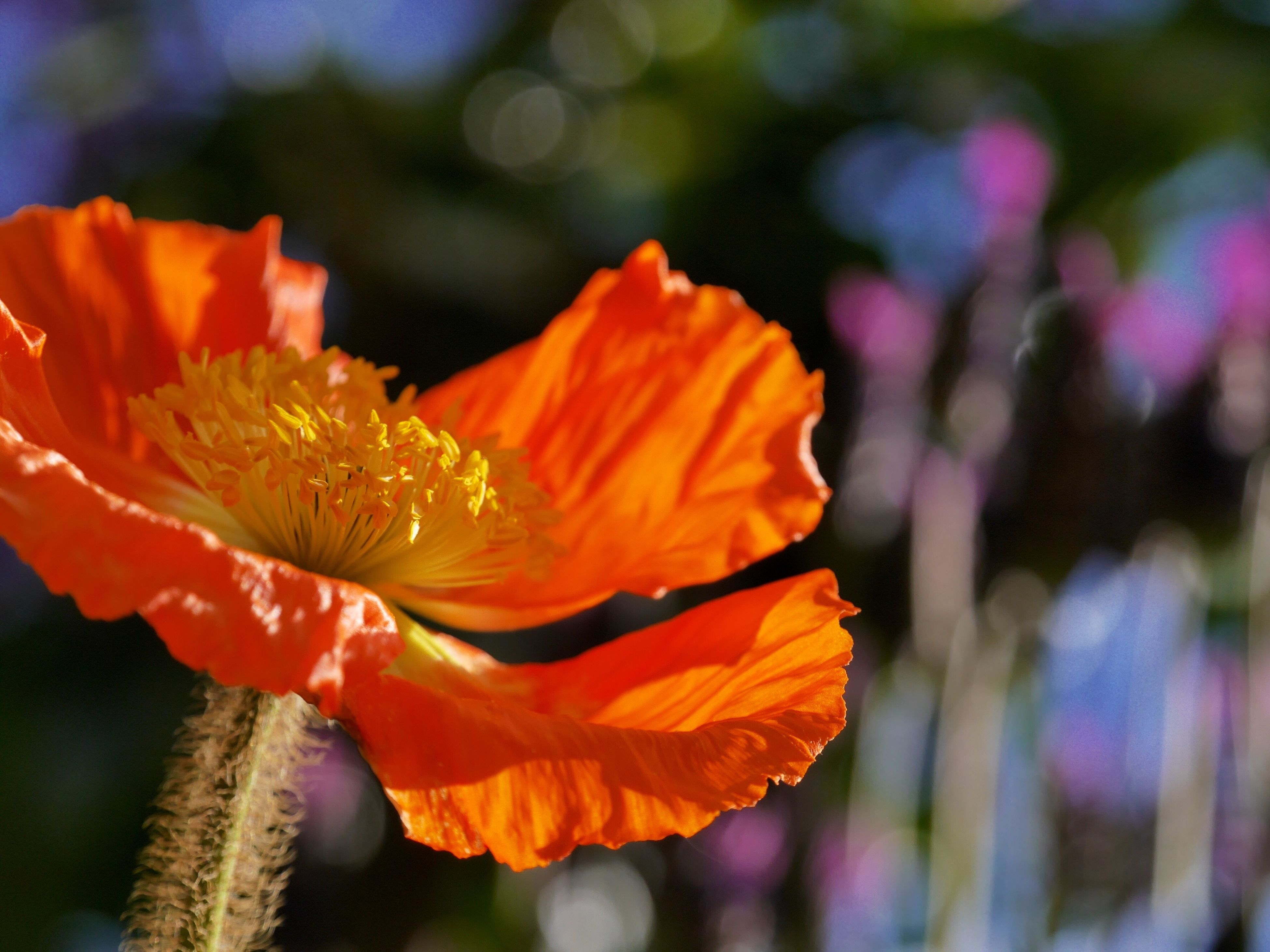 flower, petal, beauty in nature, nature, orange color, fragility, flower head, growth, focus on foreground, freshness, outdoors, plant, no people, day, blooming, close-up