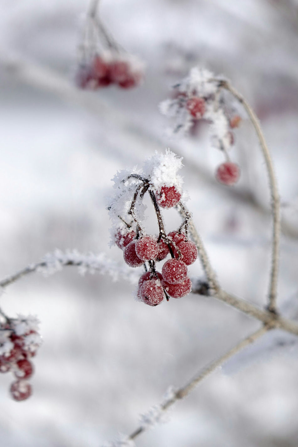 Close-up Frosted Nature Frosted Berries Snow Winter Nature's Wonder Frosty Nature Frozen In Time Cold Weather Wintertime Beauty In Nature Snowflakes Frozen Winter Frost Nature Winter Wonderland EyeEm Best Shots EyeEm Nature Lover Frozen Nature Getting Inspired Cold Temperature