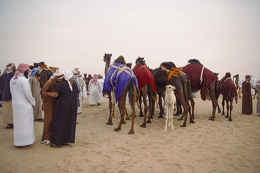 Camel Beauty Competition Arabic Camels Event Location Middle East Middle Eastern Saudi Arabia Tradition UAE