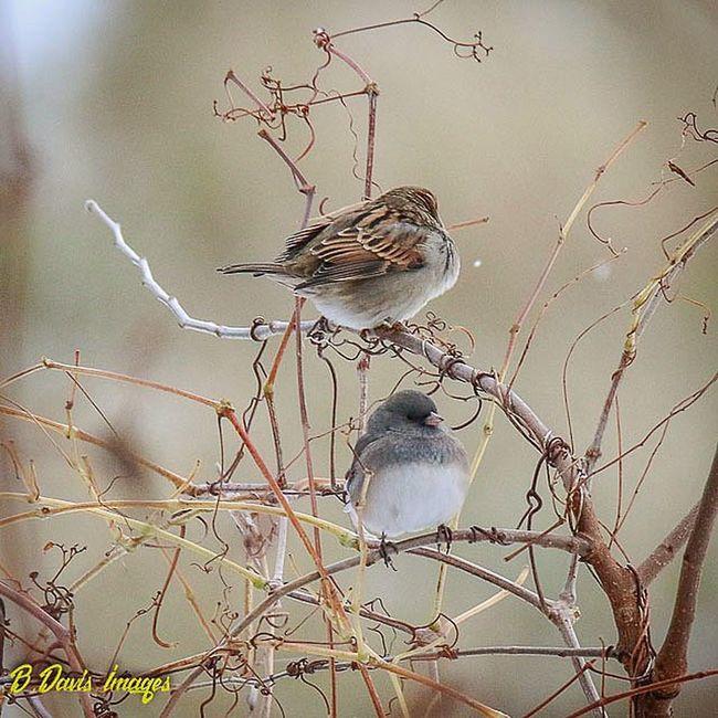 House sparrow and Dark Eyed Junco ? Birdseverywhere Sparrow Darkeyedjunco Planetbirds Cleveland Tamron150600mm Team_canon Wildlifephotography