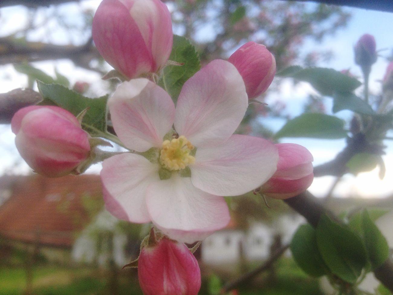 Blumö Pink Apfelbaum  Springtime