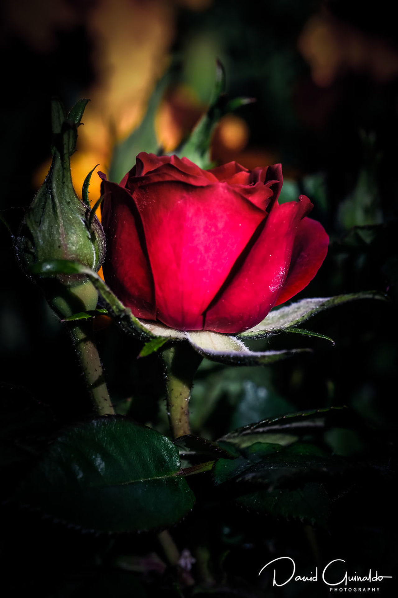 Beauty In Nature Blooming Close-up Flower Flower Head Fragility Freshness Growth Leaf Nature No People Petal Plant Red Rose - Flower