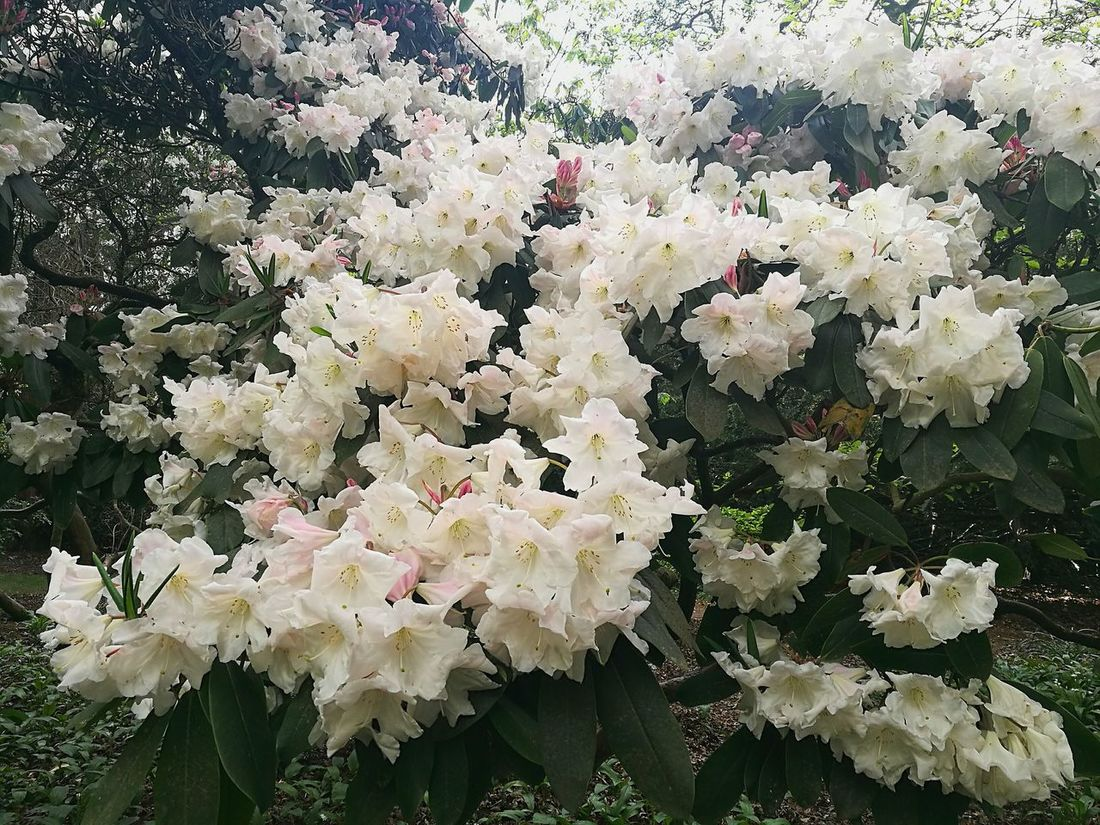 White Rhododendron Rhododendron White Blossoms White White Color White Flowers Spring White Flowers Nature Blossom Love Blossom Love Nature Growth Freshness Outdoors Close-up Day Daytime Photography London Gardens Smartphonephotography P9 Huawei White And Green Colour White And Green Blossoming Beauty Blossomtree Naturelovers
