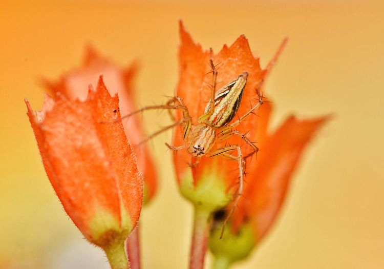 Lynx spider The Week On EyeEm Animal Themes Close-up Orange Color Animals In The Wild No People Flower One Animal Macro Photography Macro Beauty Macro Nature Arachnid Orange Flowers EyeEmNewHere Macro_collection Arachnid Photography Lynx Spider EyeEmBestPics Petal Nature Animal Wildlife Freshness Outdoors Day Flower Head