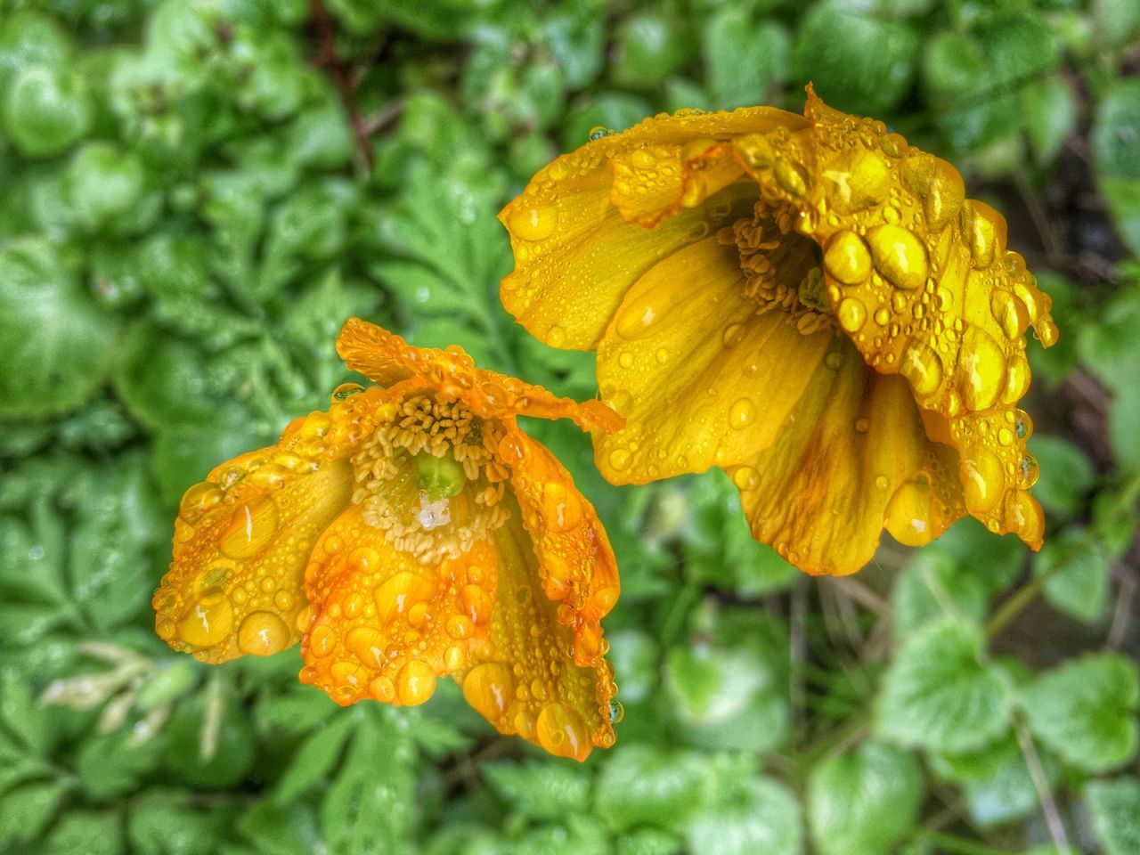flower, growth, nature, drop, beauty in nature, fragility, plant, green color, petal, yellow, wet, close-up, freshness, no people, outdoors, day, focus on foreground, blooming, flower head, water, leaf