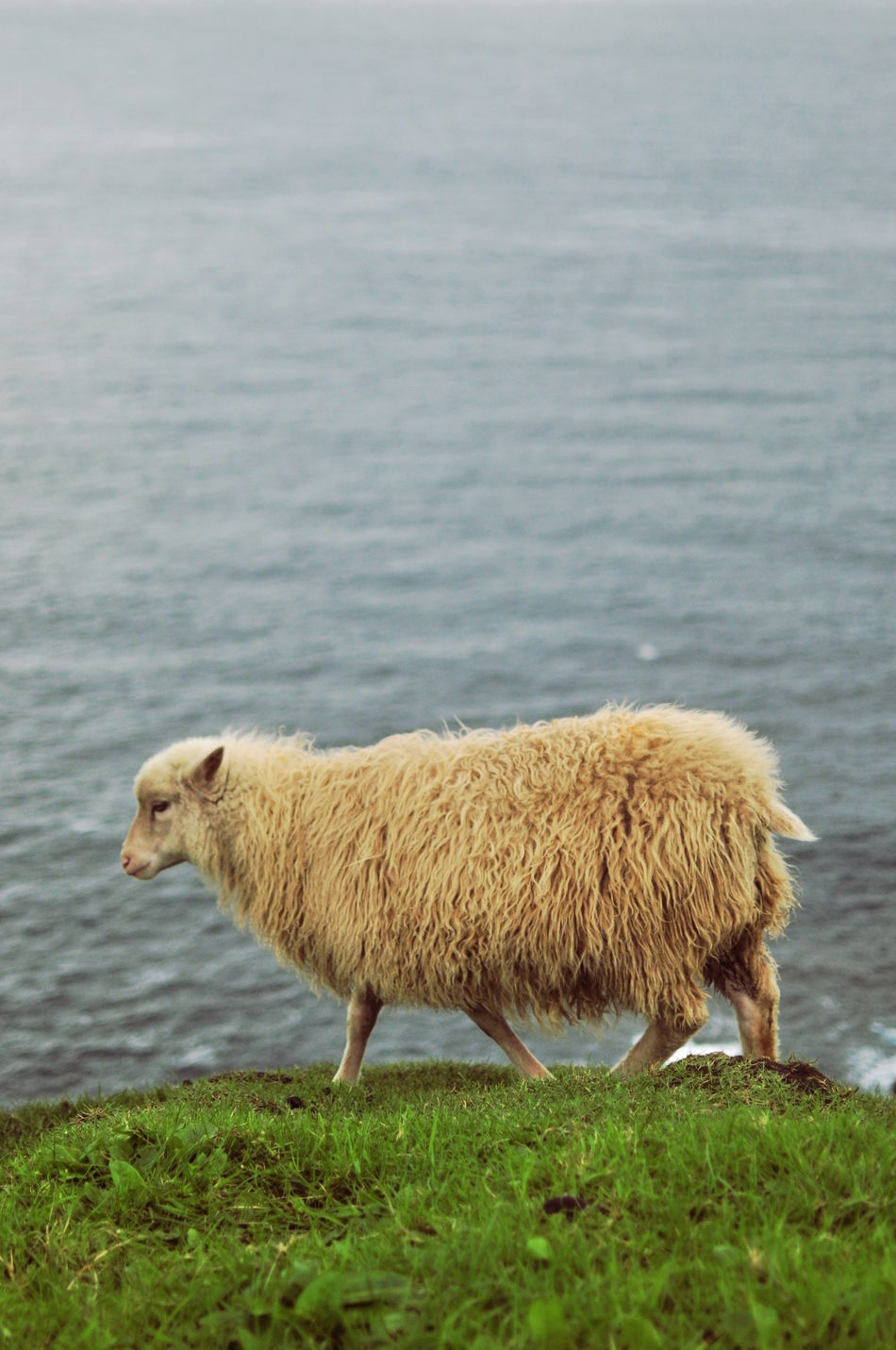 Animal Animal Themes Day Nature No People One Animal Profile Sea Sheep Side View Water Zoology