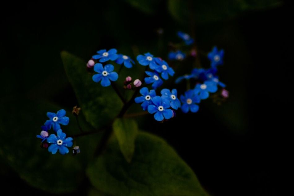 forget me not. Blue Flowers Forget Me Not Contrast Depth Of Field Light And Shadow EyeEmNewHere First Eyeem Photo