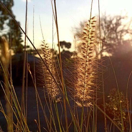 Weathertoday Nice Grasses Latesun wpphoto winphan nokia lumia1020 foreground