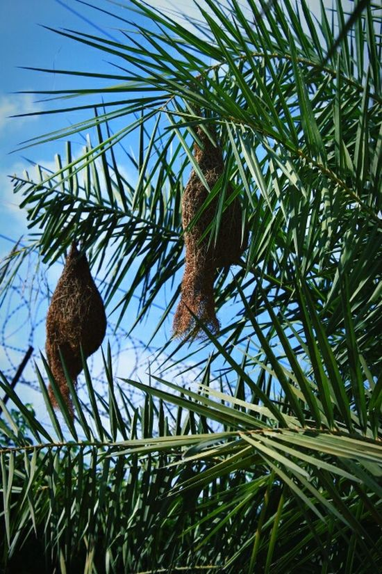 Weaverbird Nest Trees And Sky Birds Nest Weaverbird WOW Save Trees Nature Nature Photography Nature_collection Save Nature  Summer2016 Get Outdoors Plant A Tree Save Birds Save Planet Blue Sky .