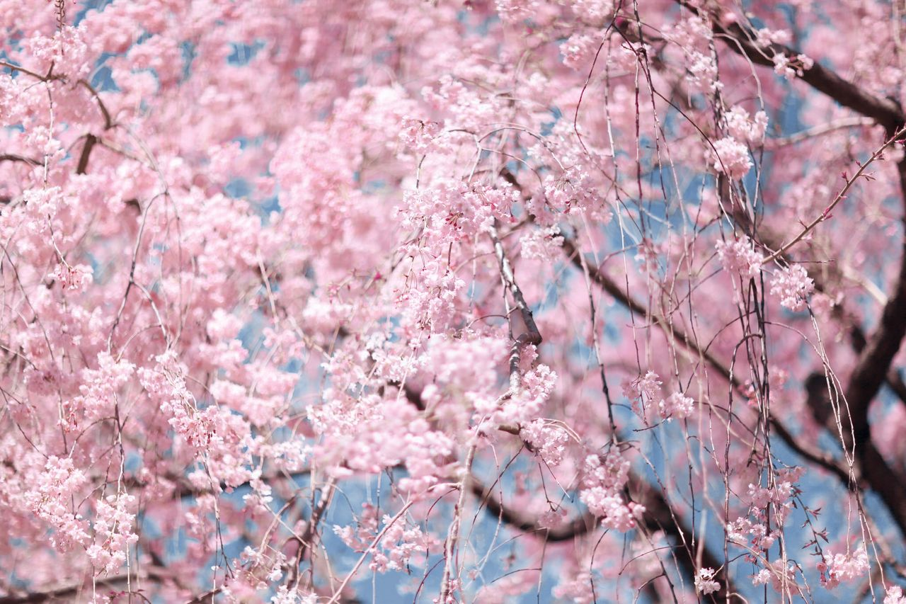 Beautiful stock photos of cherry, Beauty In Nature, Blooming, Cherry Blossom, Cherry Tree