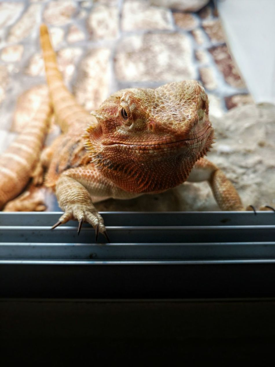 Animal Colors Lizzard Reptile Orange Animal Themes Pogona