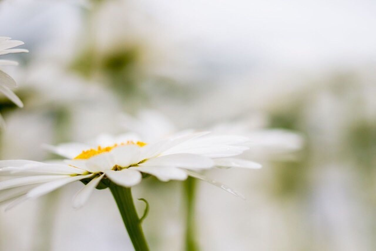 Daisy Flower EyeEm Best Shots Canonphotography Nature Photography Daisies Flowers This Week On Eyeem Showcase:July