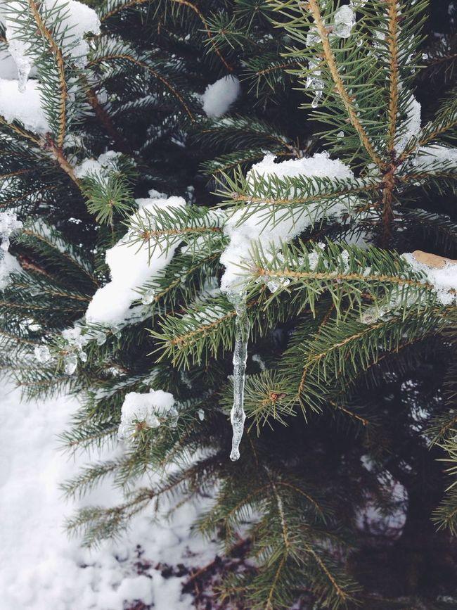 Tree Ice Snow