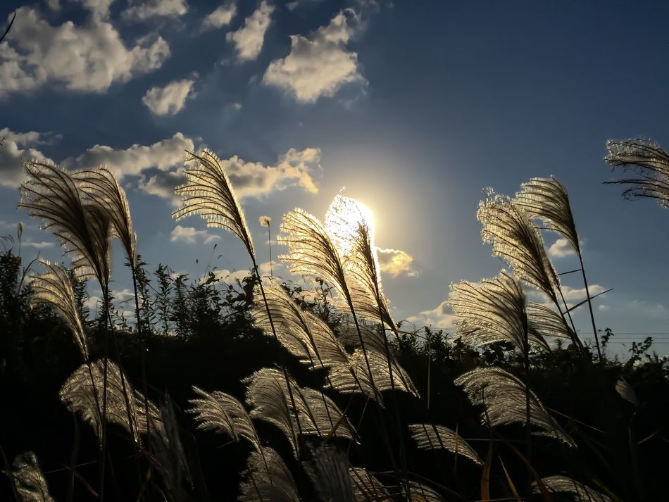Japanese Pampas Grass Growth Sunlight Sky No People Sunbeam Low Angle View Nature Sunset Cloud - Sky Beauty In Nature Tranquility Outdoors Day Iphonephotography