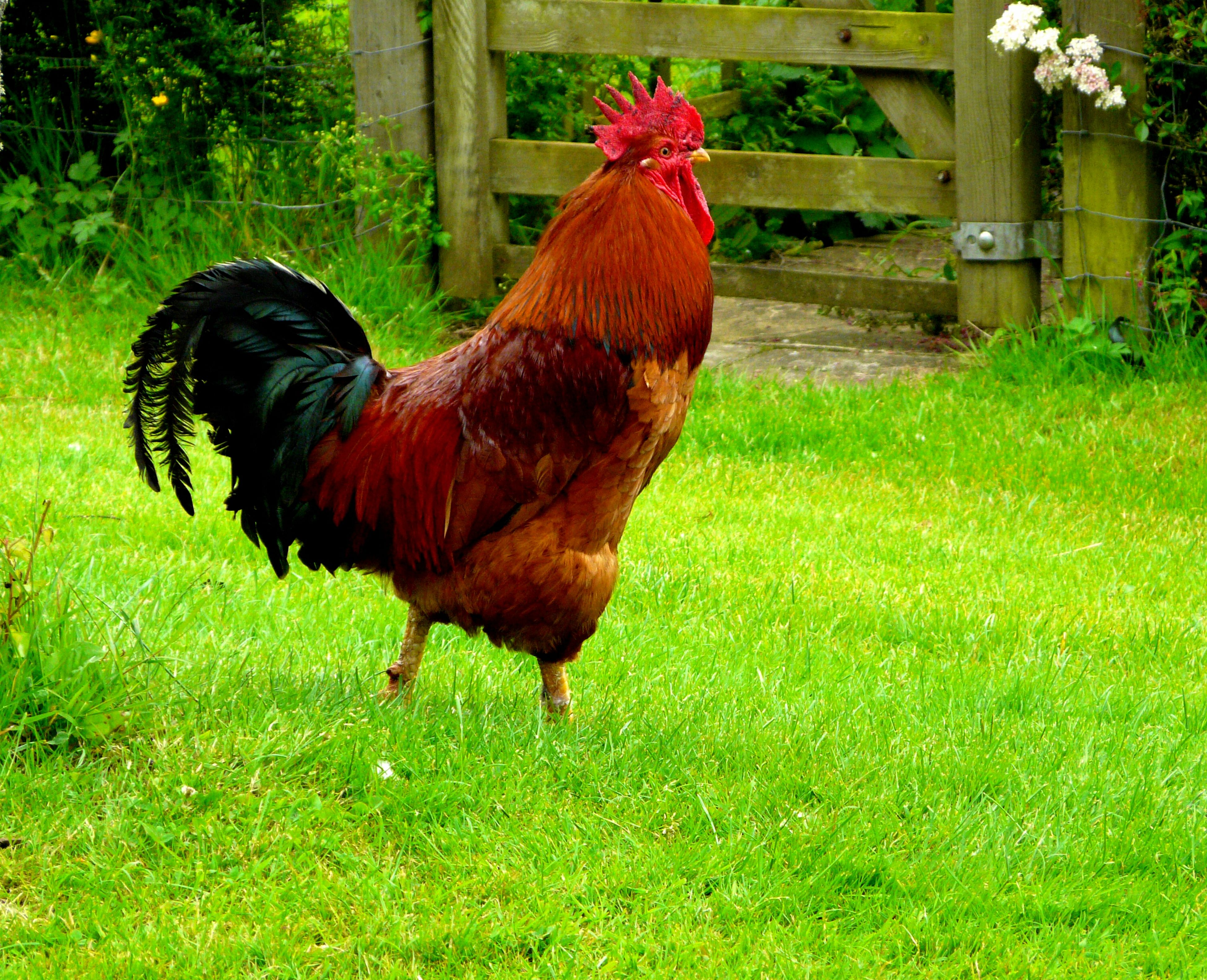 animal themes, livestock, grass, domestic animals, bird, chicken - bird, rooster, one animal, field, hen, grassy, mammal, fence, red, green color, cockerel, standing, nature, two animals, day