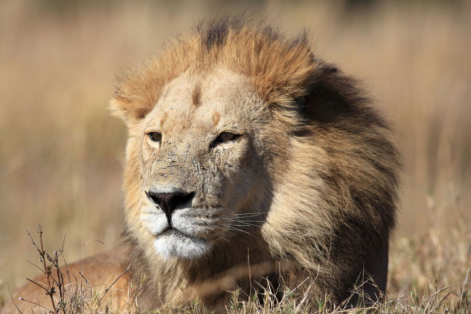 Beautiful stock photos of africa,  Animal Head,  Animal Themes,  Animal Wildlife,  Animals In The Wild