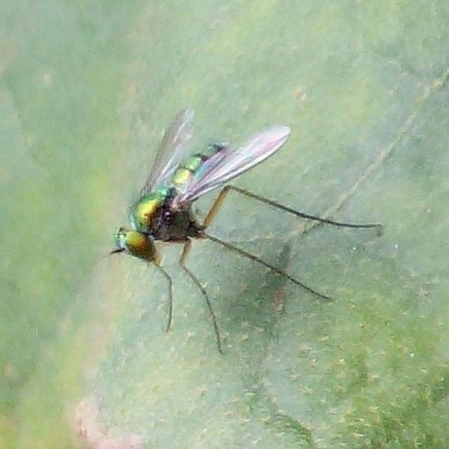 Long legged fly Sooc hp jer