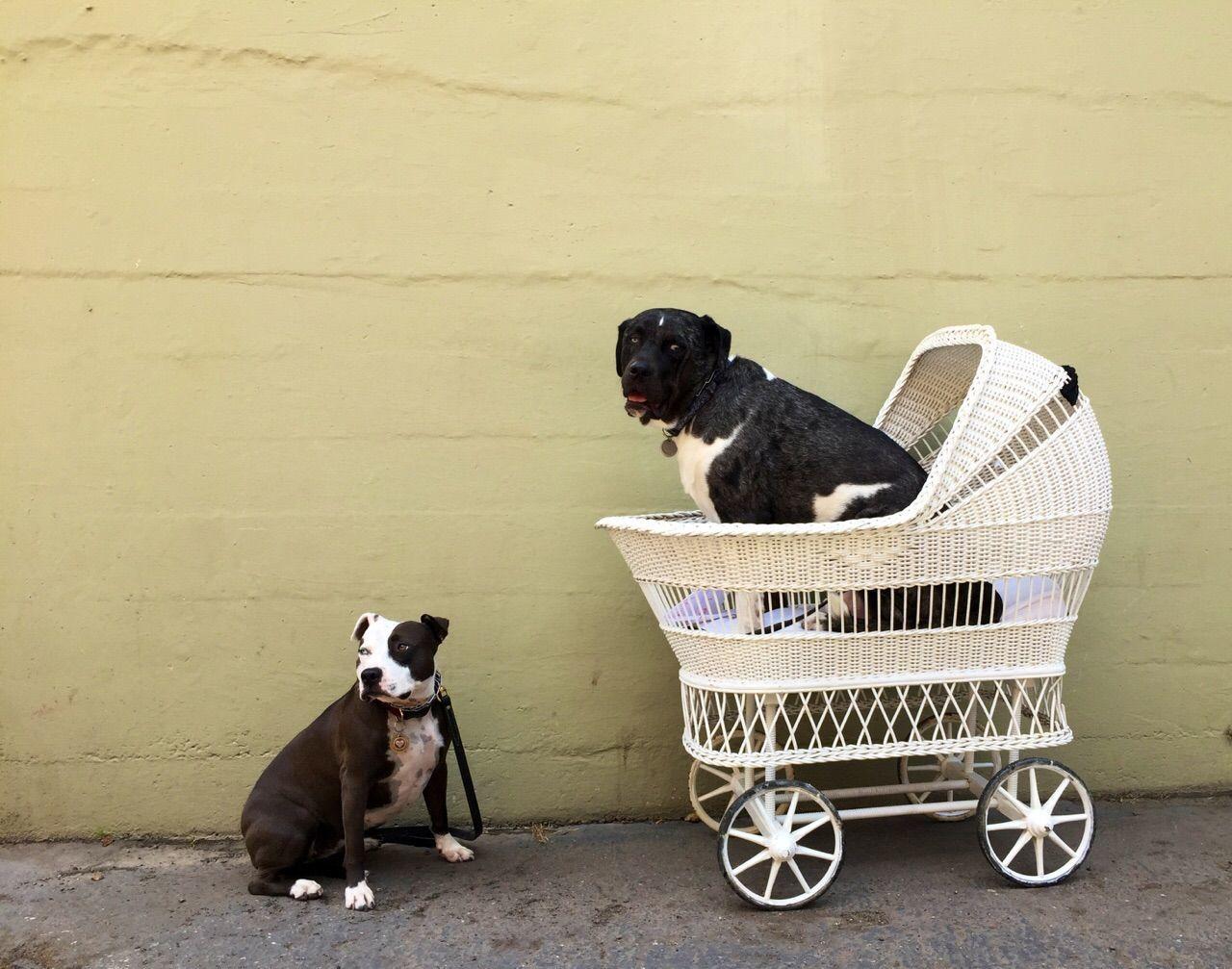 Beautiful stock photos of pitbull, Animal Themes, Baby Carriage, Collar, Concrete