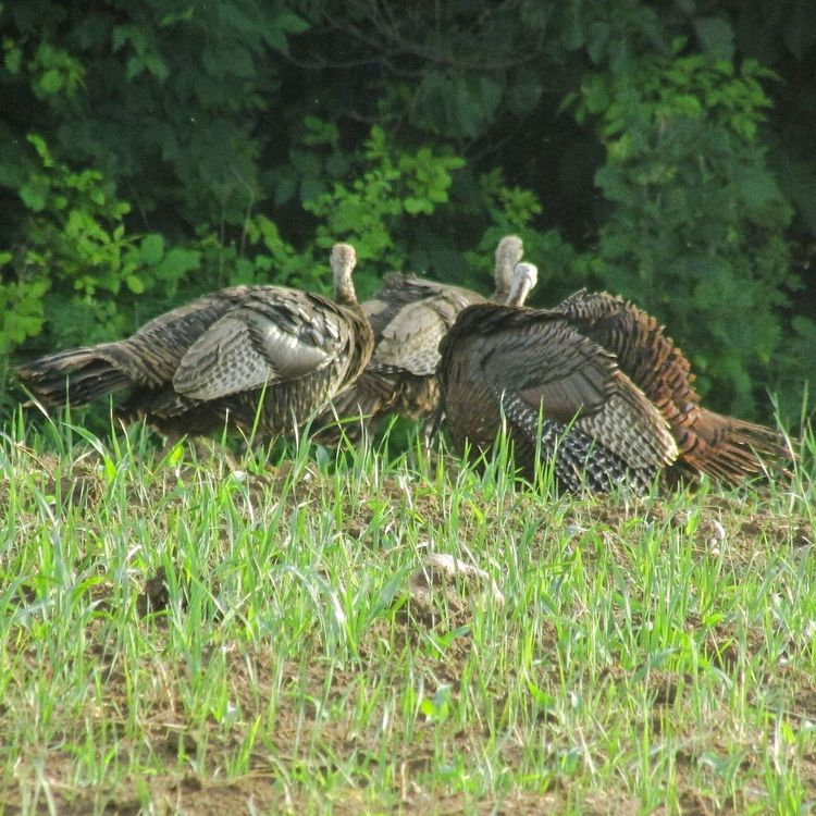 Animal Themes Bird Bird Series Animals In The Wild Animal Wildlife Turkey Animal Family Togetherness Field Cornfield Growth Woods No People Nature Nature On Your Doorstep Michigan United States
