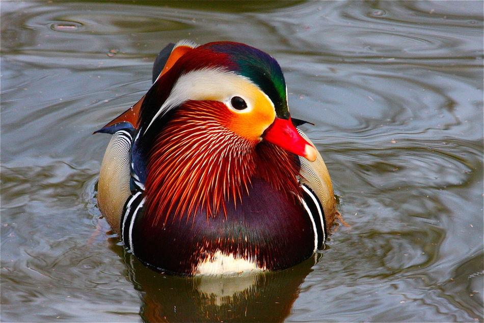 Beautiful stock photos of duck, Animal Themes, Animals In The Wild, Bird, Close-Up
