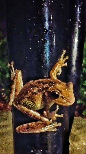 Tree frogs after the rain. Treefrogs Kissimmee Lakefrontpark Snapseed