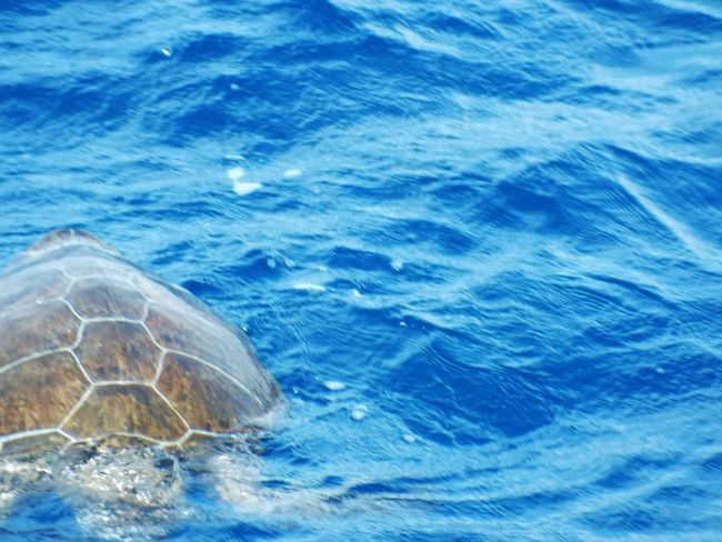 Sea Animal Sealife Sea Life Animal Travel Photography Boat Trip Beauty In Nature Blue Water On A Boat Tourist Attraction  Travel Destinations Tourism Day Trip On The Way Mediterranean Sea Sea Giant Turtle