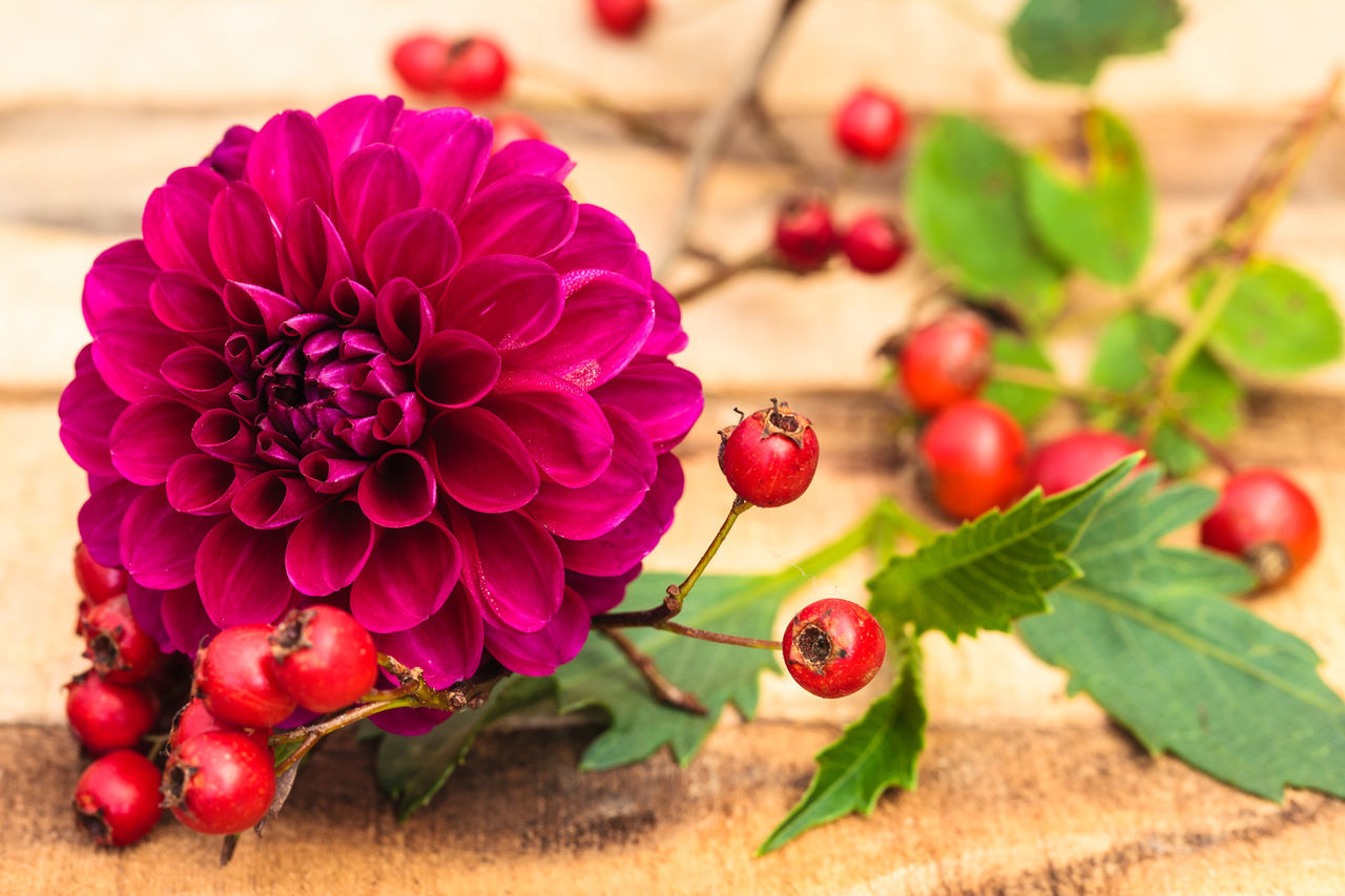 Beauty In Nature Cherry Tree Close-up Dahlia Day Floral Arrangement Floral Photography Flower Flower Head Focus On Foreground Food Food And Drink Fragility Freshness Fruit Growth Leaf Nature No People Outdoors Plant Red Rose Hip Rose Hips Tree