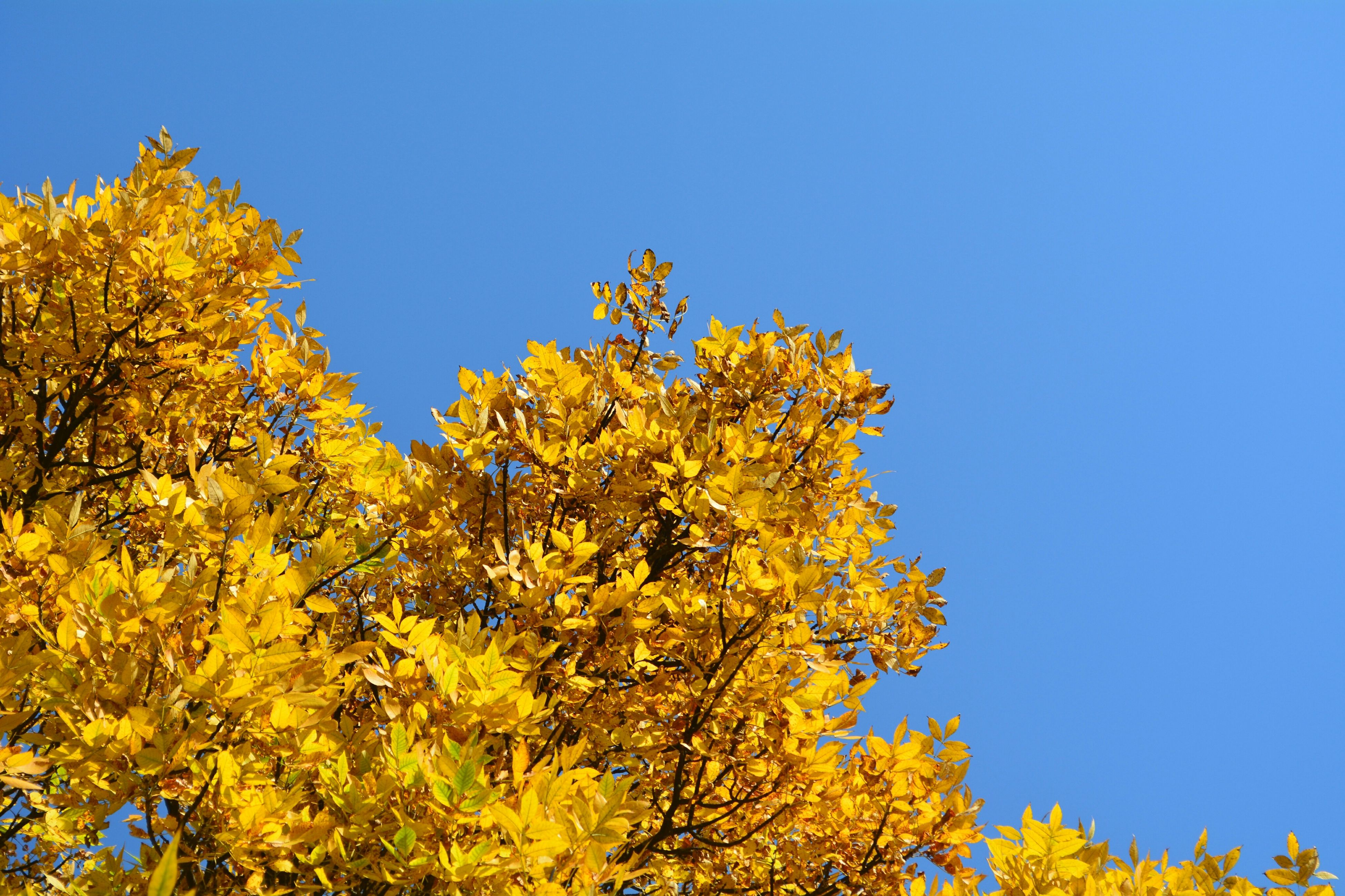 clear sky, yellow, tree, blue, autumn, growth, copy space, change, low angle view, beauty in nature, season, nature, branch, tranquility, tranquil scene, scenics, day, flower, outdoors, no people