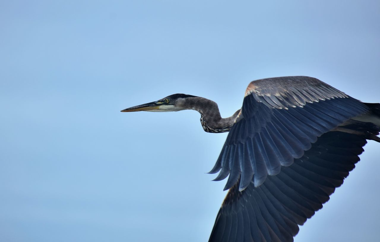 Close-Up Of Grey Heron Flying Against Clear Sky