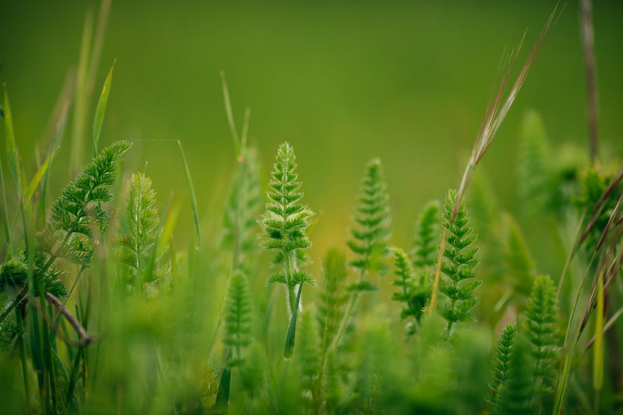 Agriculture Cereal Plant Close-up Crop  Day Farm Field Flower Flowers Grass Green Color Growth Nature No People Outdoors Plant Rural Scene Wheat