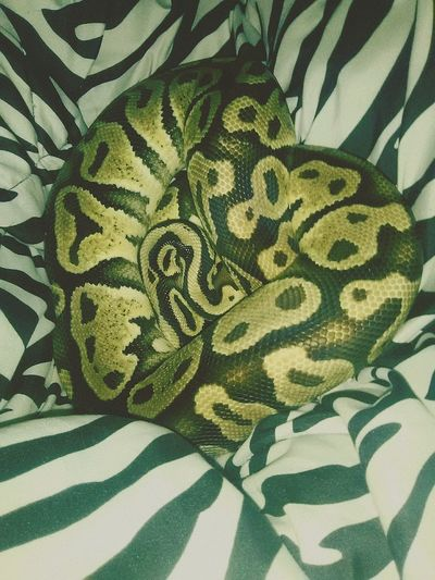 Ballpython Ballpythonlove MySweetBoy Beautiful Reptile Reptileslover Snakes Snakehearts Pattern Close-up Heart Snakeskin No People Indoors  Animal Markings Leaf Backgrounds Animal Themes Nature Day