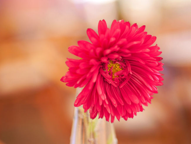 Autumn Beauty In Nature Bloom Blossom Chrysanthemum Close-up Flower Flower Head Focus On Foreground Fragility Freshness Gerbera Daisy Growth In Bloom Mirrorless Nature Panasonic  Petal Pink Red Season  Single Flower Softness Springtime Vibrant Color