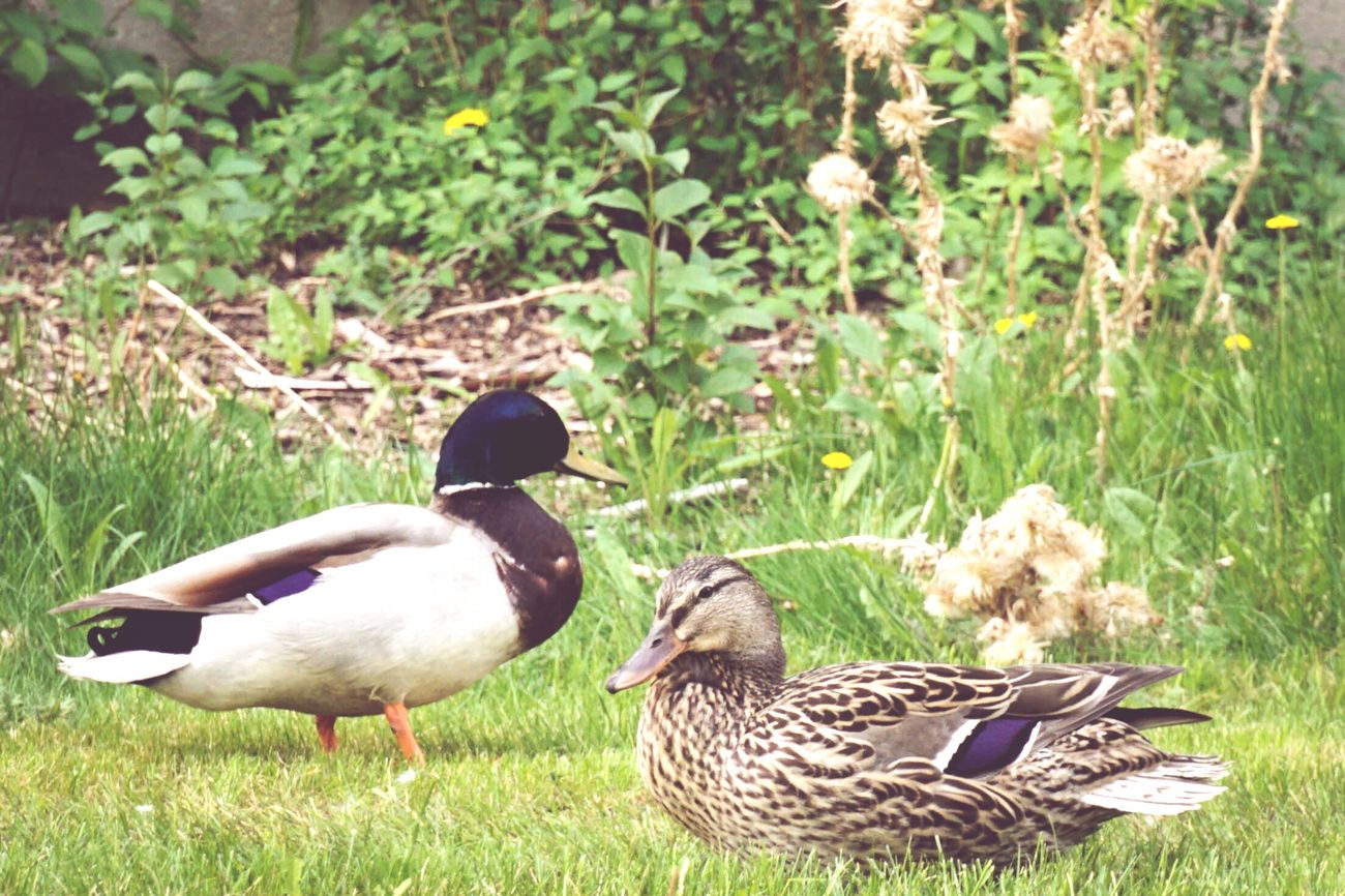 Softened Ucalgary Ducks Hanging Out Lettingmetakephotos Cuteness Cheese! Togetherforever Outdoors 43 Golden Moments