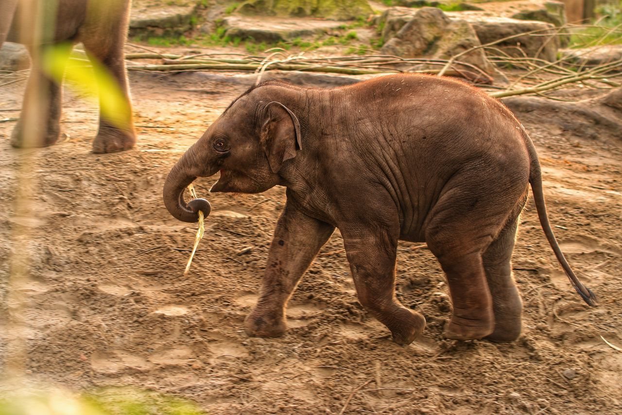 one animal, elephant, mammal, animal themes, animals in the wild, animal wildlife, day, no people, safari animals, outdoors, nature, domestic animals, animal trunk, african elephant