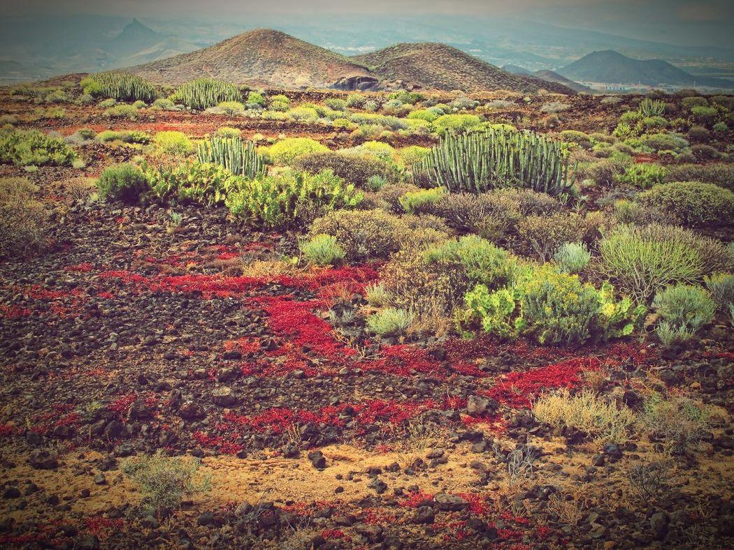 Montana Amarilla region on tenerife with its typical vegetation. Tenerife Teneriffa Montana Amarilla